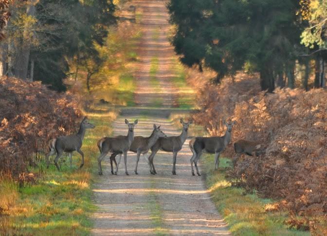 Harde en Forêt de Tronçais, photo JF Gosset