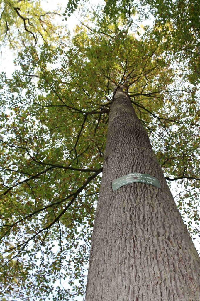 Chêne de la Futaie Colbert, Forêt de Tronçais