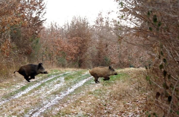 Sangliers en Forêt de Tronçais, photo JF Gosset
