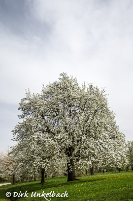 Birnbaum-Blüte