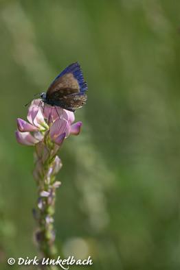 Schmetterling auf Saat-Esparsette