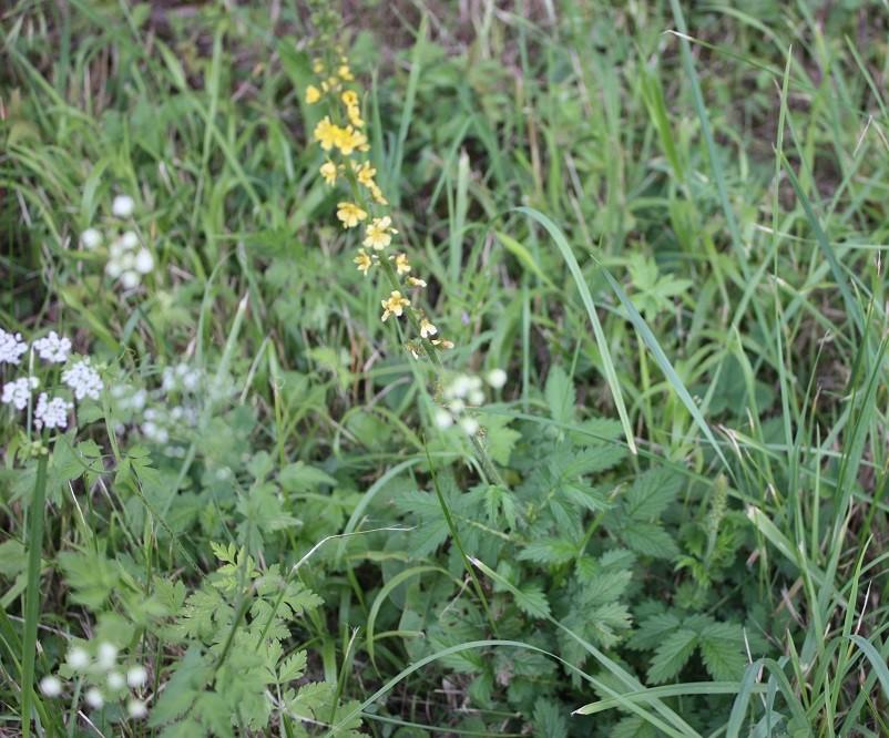 Aigremoine eupatoire en fleur - Photo Les Plantes dans tous les sens