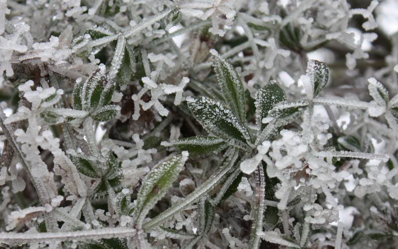 Gaillet gratteron gelé-Les Plantes dans tous les sens