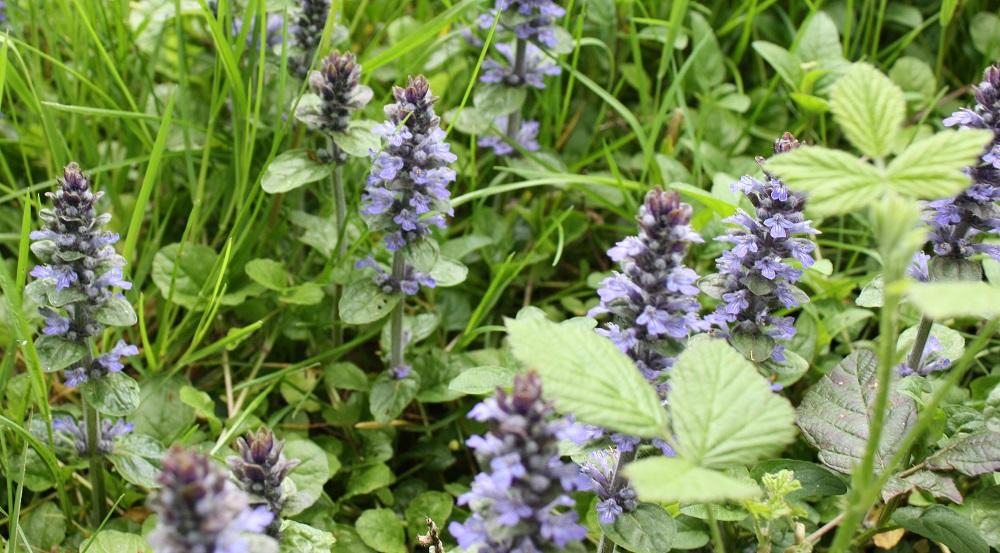 Bugle rampante fleur - Photo Les Plantes dans tous les sens
