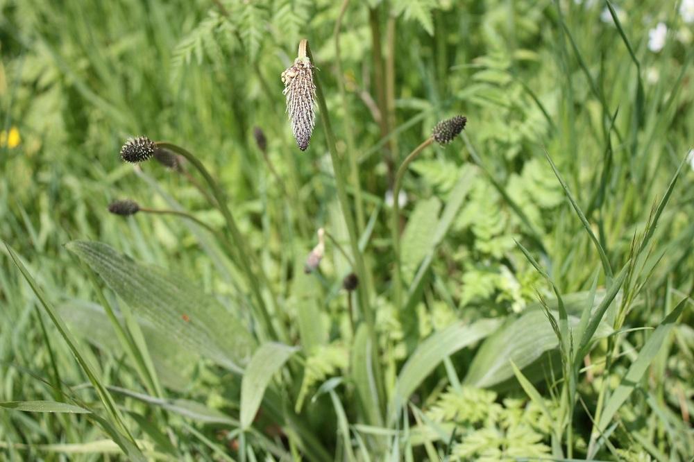 Plantain lancéolé - Photo Les Plantes dans tous les sens