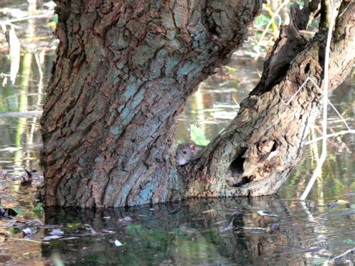 Gevluchte rat voor het hoge water 2007