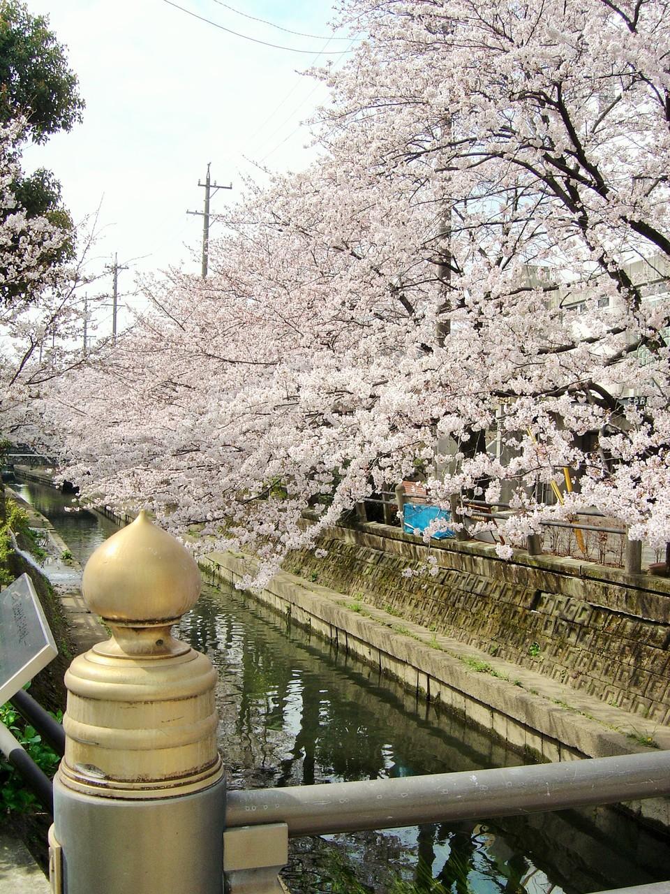 橋から眺める桜、きれいです