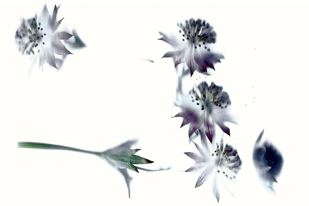Geblendete Blüten 2017  Diasec 7+3 50 x 75 cm