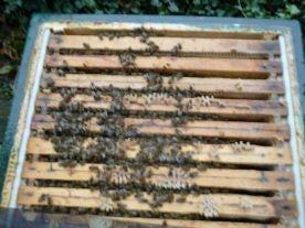 Volk 1, Foto bei 7 Grad aufgenommen, die feste Wintertraube ist z.Z. aufgelöst. - 15 Milben gefallen.