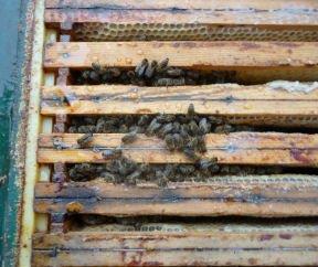 Volk 3, Foto bei 7 Grad aufgenommen, die feste Wintertraube ist z.Z. aufgelöst. - 19 Milben gefallen.
