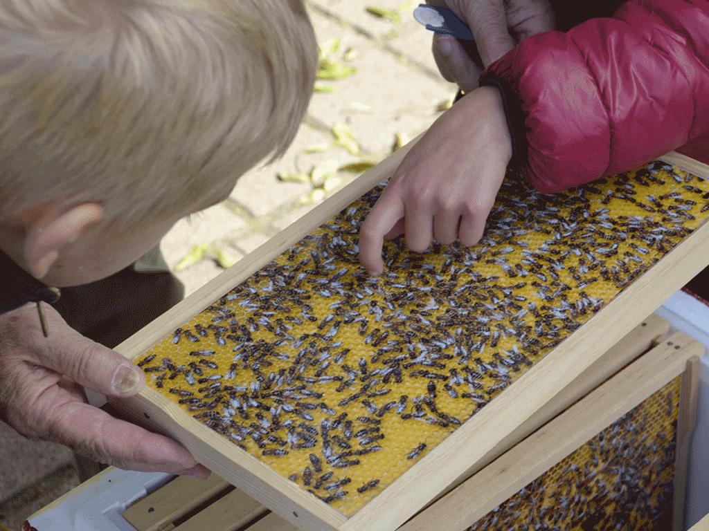 Auf dieser Schauwabe sind die Bienen nur als Foto.