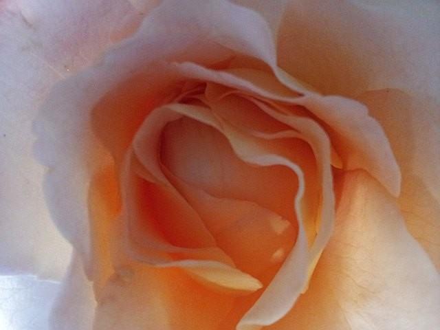 Eine Rosenblüte ...