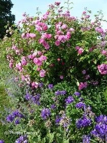 Rosiers anciens - Le Jardin Mosaïque à Asnières sur Vègre