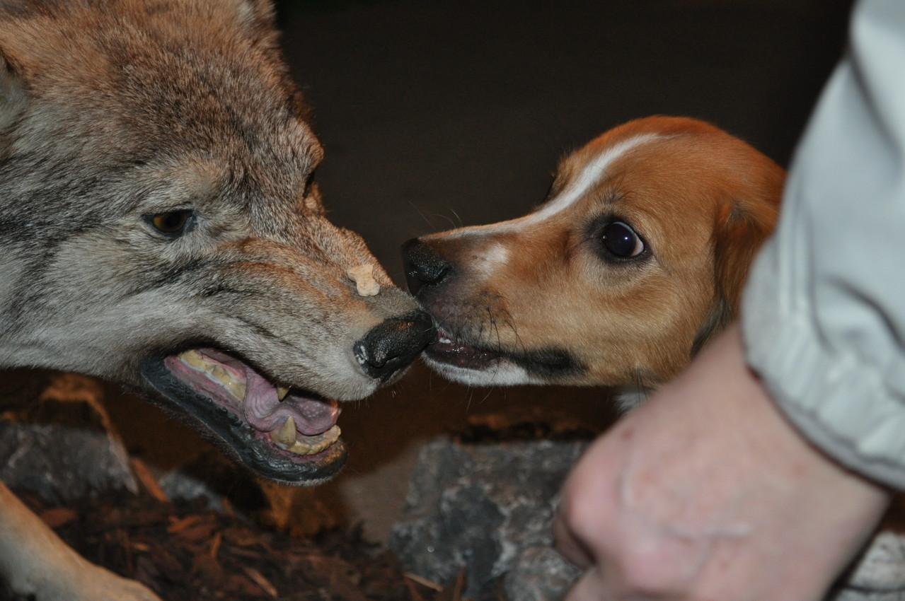 Wer hat Angst vor dem Wolf? Niemand