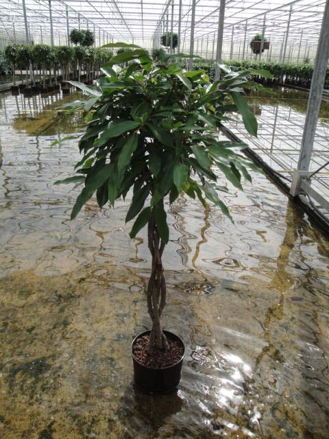 Ficus Amstel KIng 130 cm geflochtener Stamm