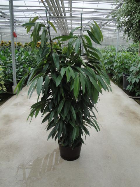 Ficus Amstel King 150 cm