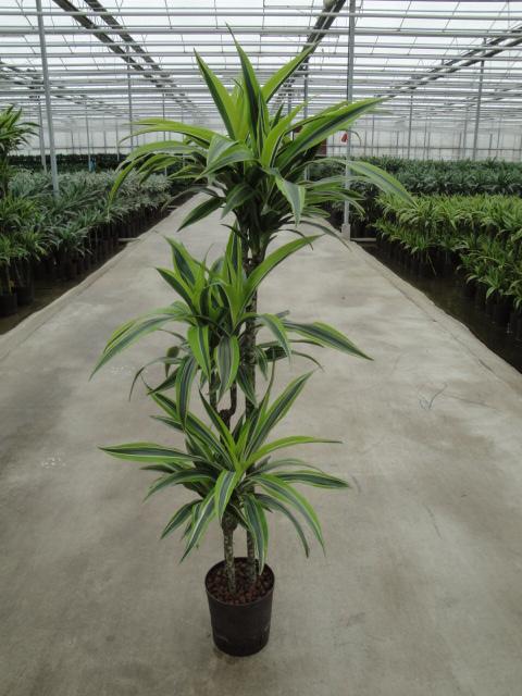 Dracaena Lemon 90-60-30 cm