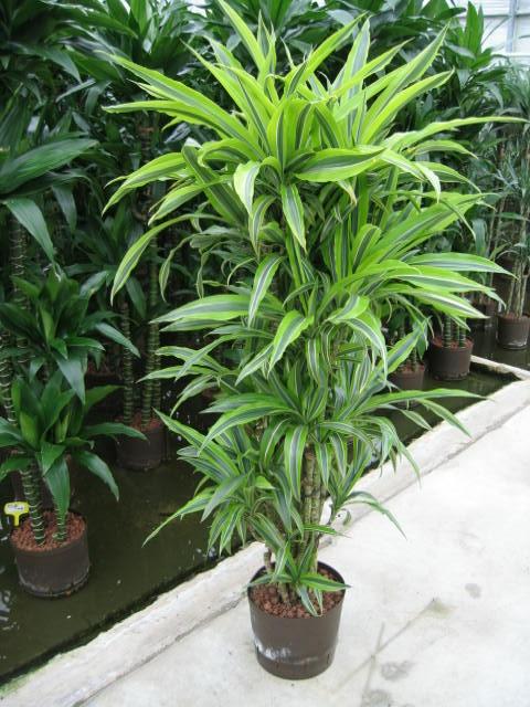 Dracaena Lemon verzweig 130 cm