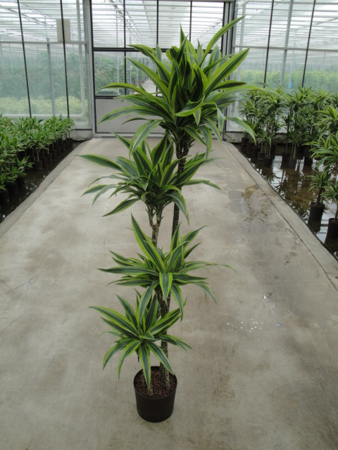 Dracaena Lemon 120-90-60-30 cm