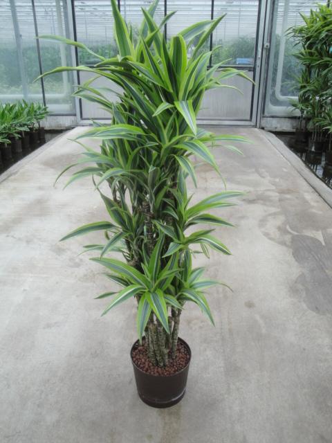 Dravaena Lemon verzweigt 90 cm