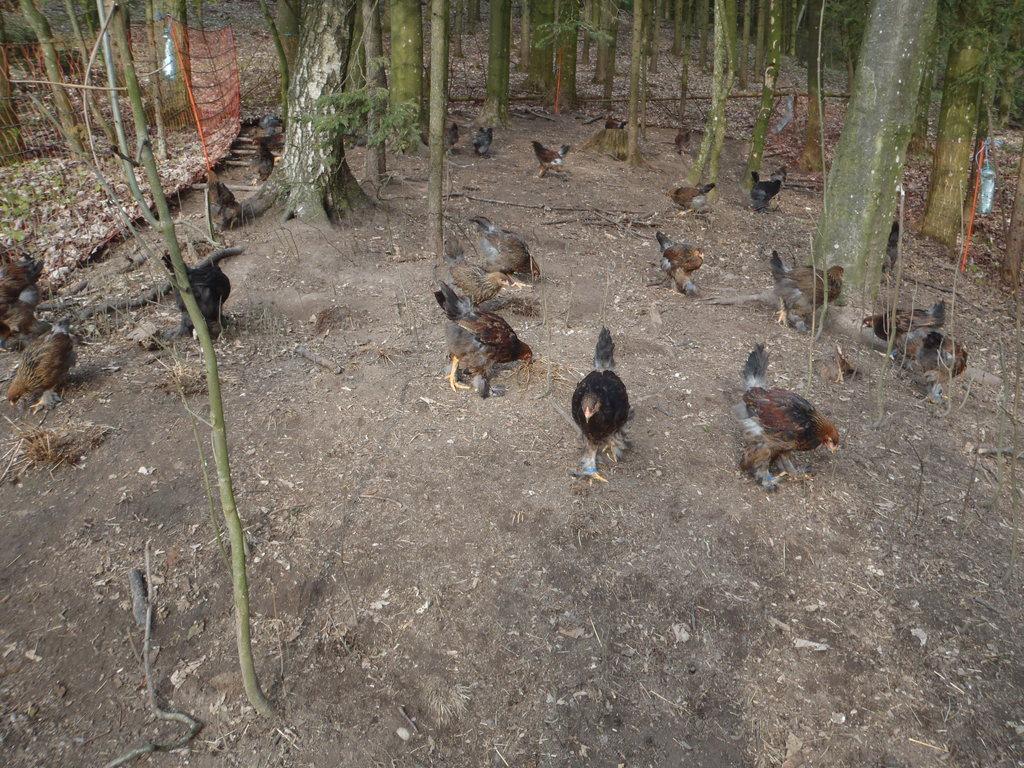 Jungtiere  2012 in Ihrem Waldauslauf