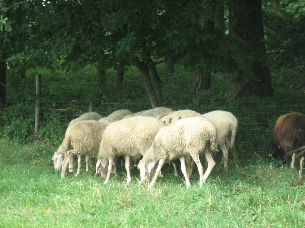 Meine Schafe auf der Weide