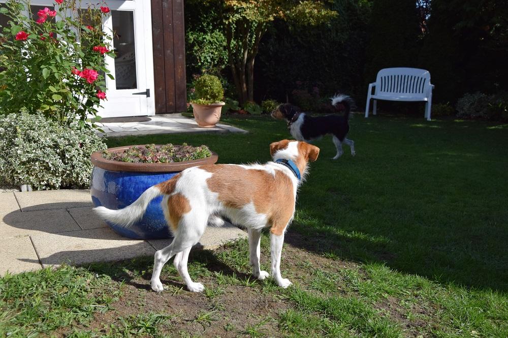 Bardur untersucht den Garten und Digga passt auf...