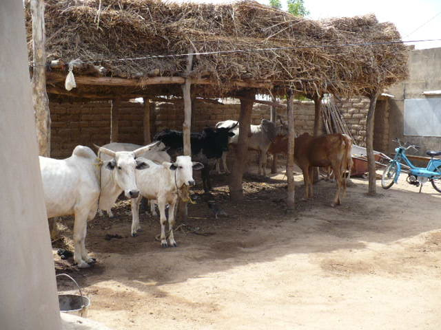 Atelier d'élevage bovin