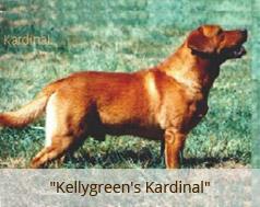 Fox Red Labradors - Golden & Labrador Retrievers Iowa