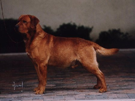 """Keepsake Brickhouse"" By Keepsake's Gulliver Travels x Keepsake's Tiger Lily owned and bred by Judy McCormick, Keepsake Labradors"