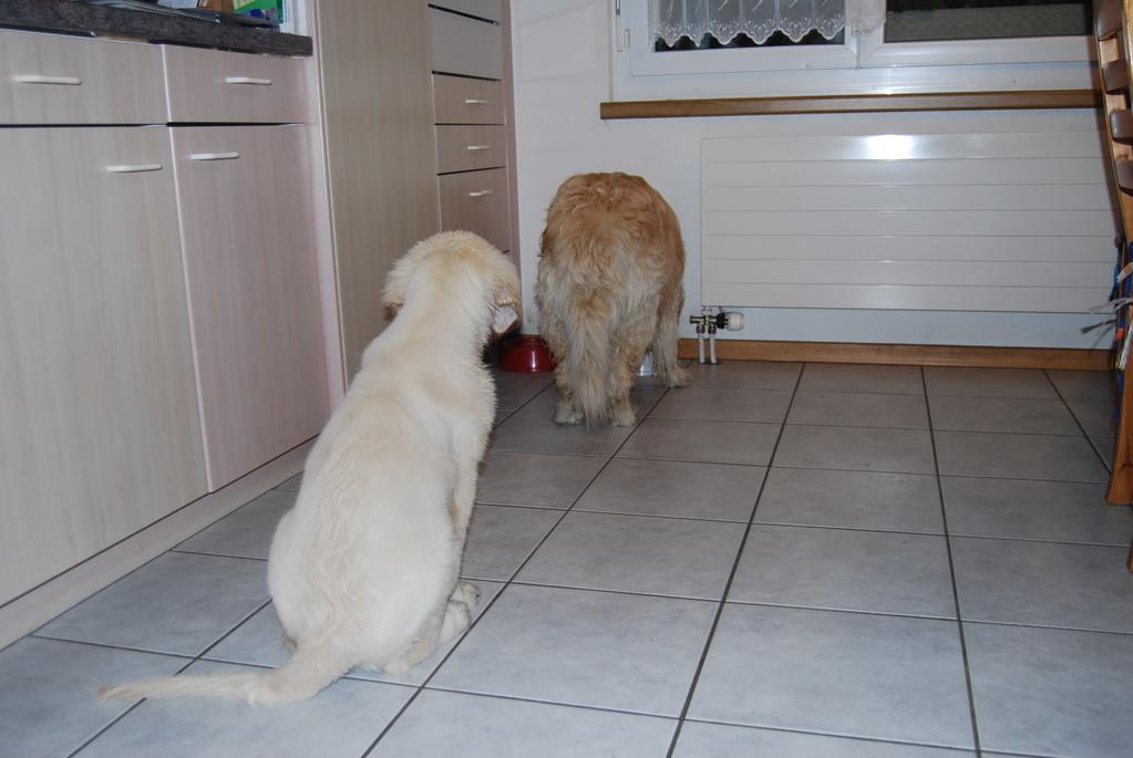 Fly ist natürlich auch bei uns immer schnell mit Fressen fertig, er hat aber sofort kapiert, dass er warten muss, bis Sina fertig ist, dann darf er ihr Geschirr noch auslecken