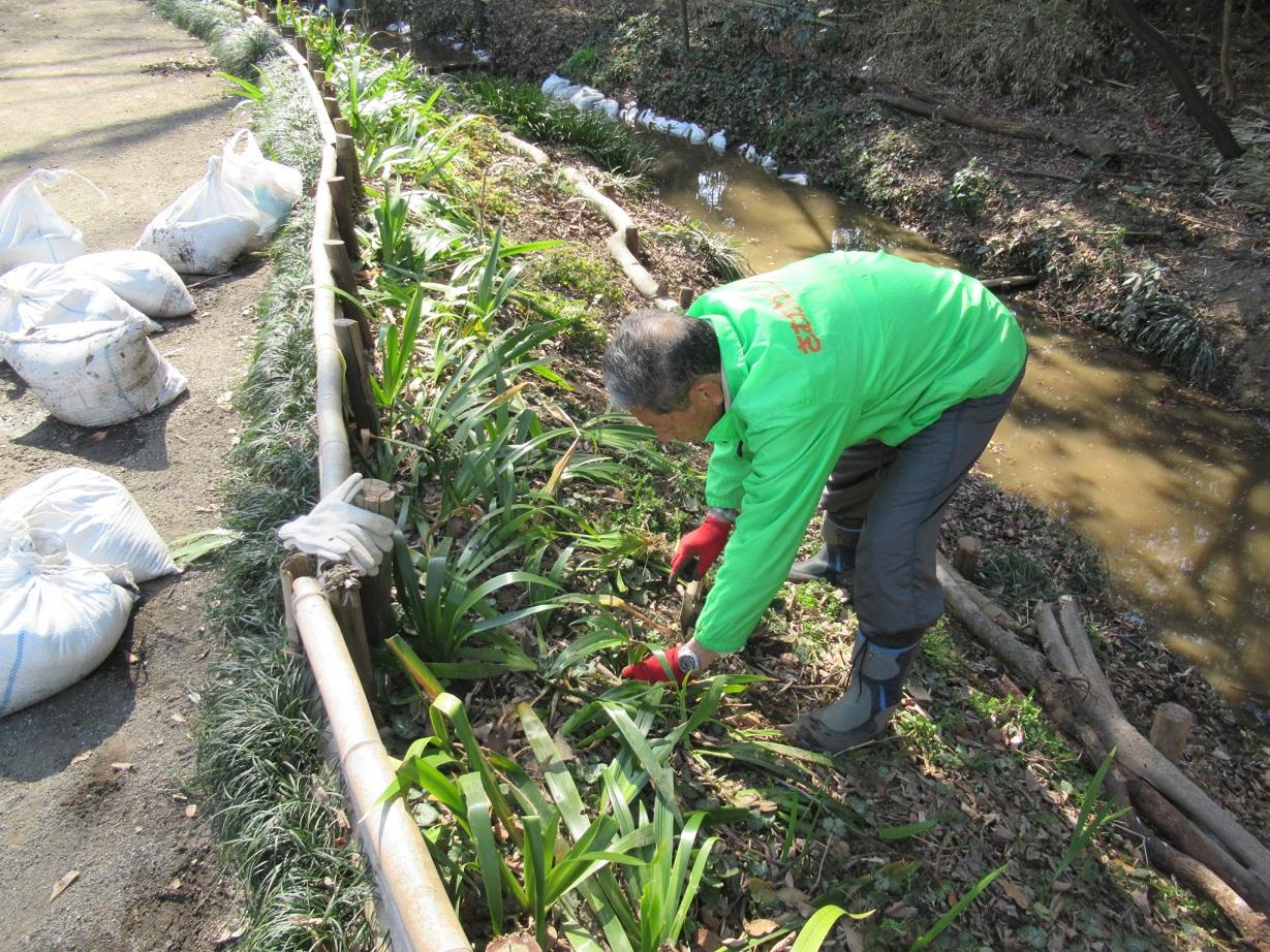 土留対策のシャガ植え替え