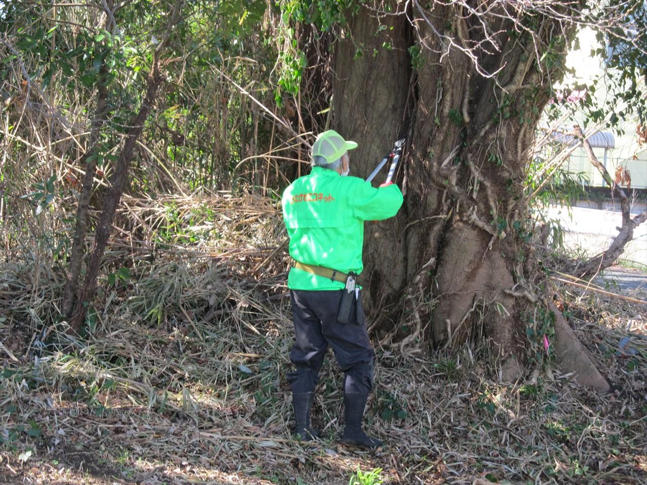 木ヅタの処理