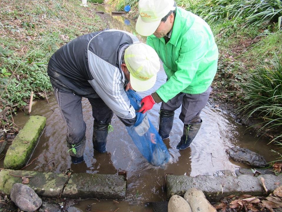 作業中 ホタルの隠れ場所作成 ネットに石と竹炭を入れます