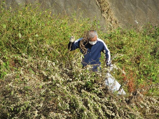 ゴミ拾い中_センダングサの実がひっつきました