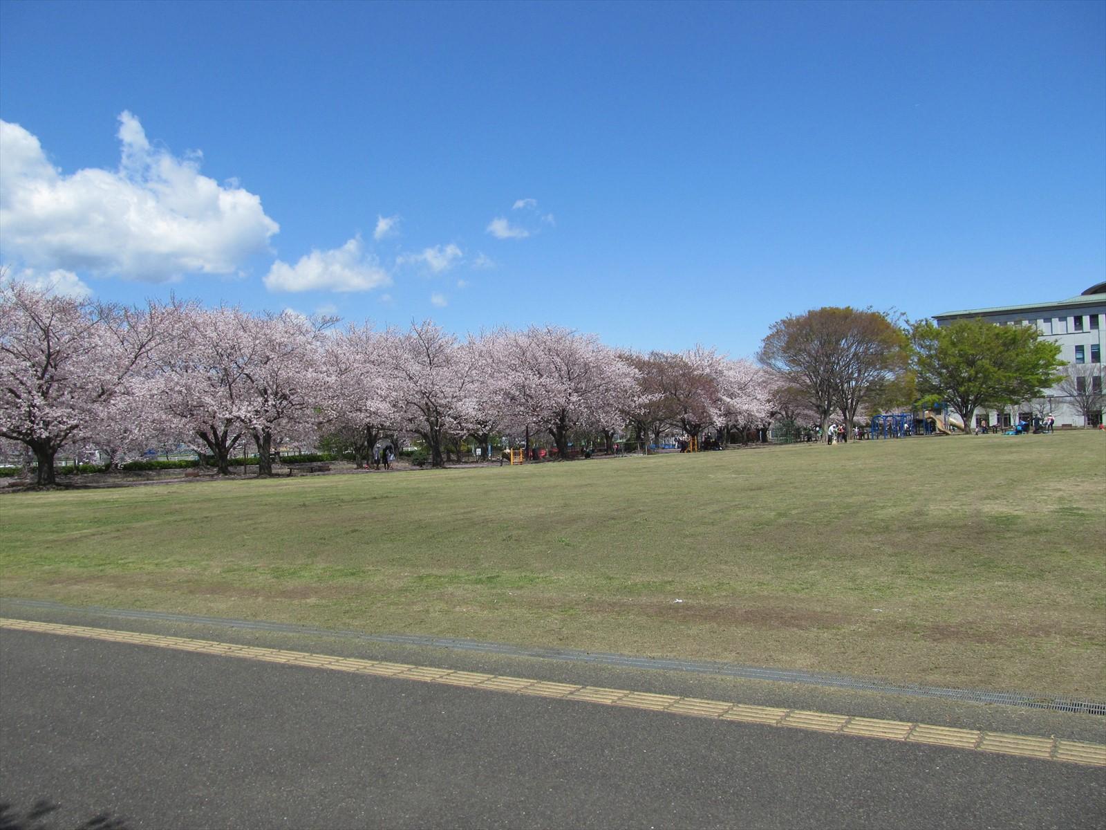 中央公園の桜が綺麗でした