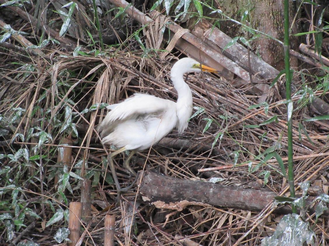 水路に降りた幼鳥、早く大きくなれよ