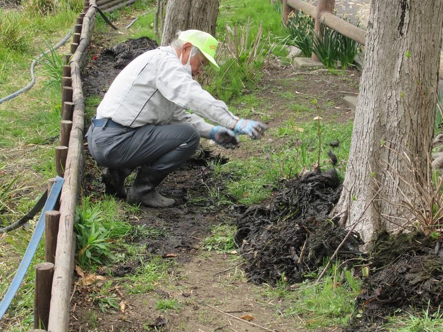 3月27日_ハゴロモ藻を肥料にします