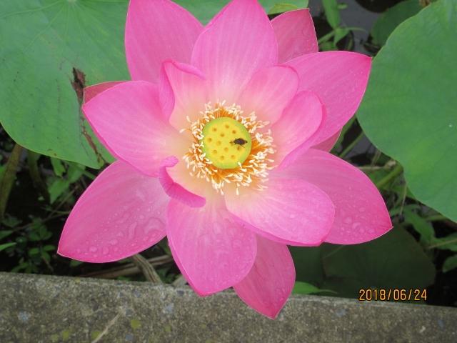 小出川岡田のハス、1輪だけ咲いてました