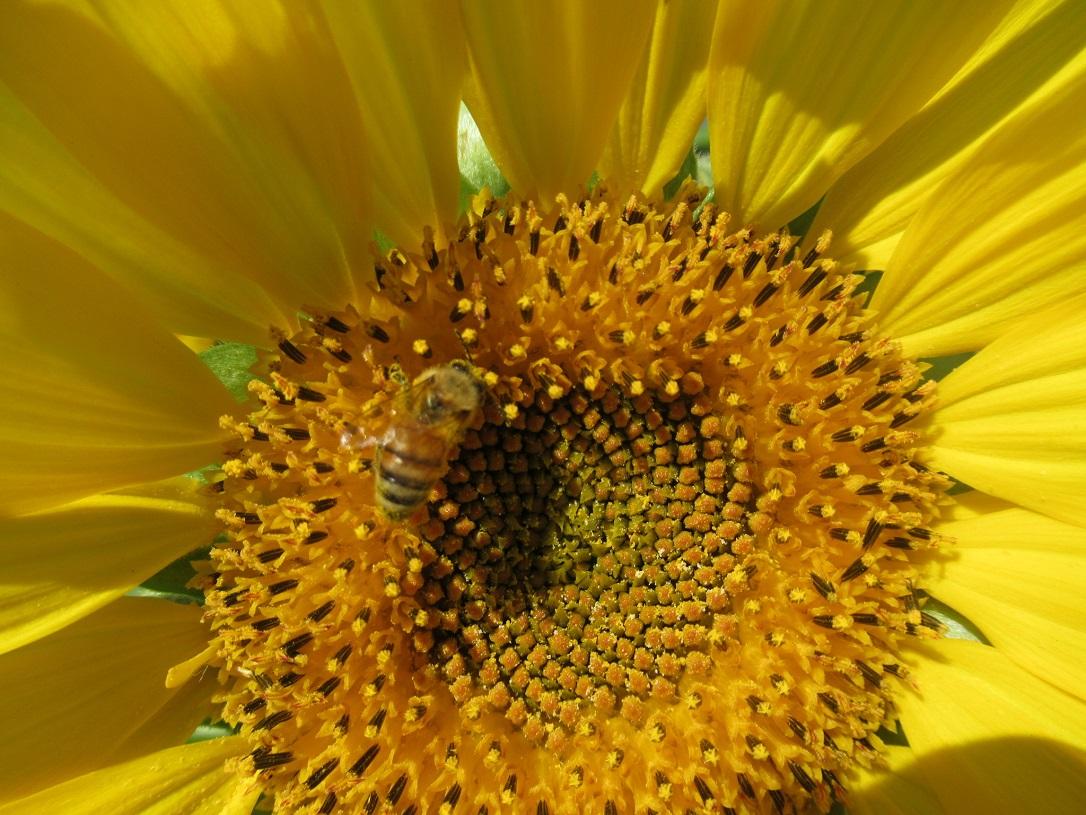 ミツバチがいました