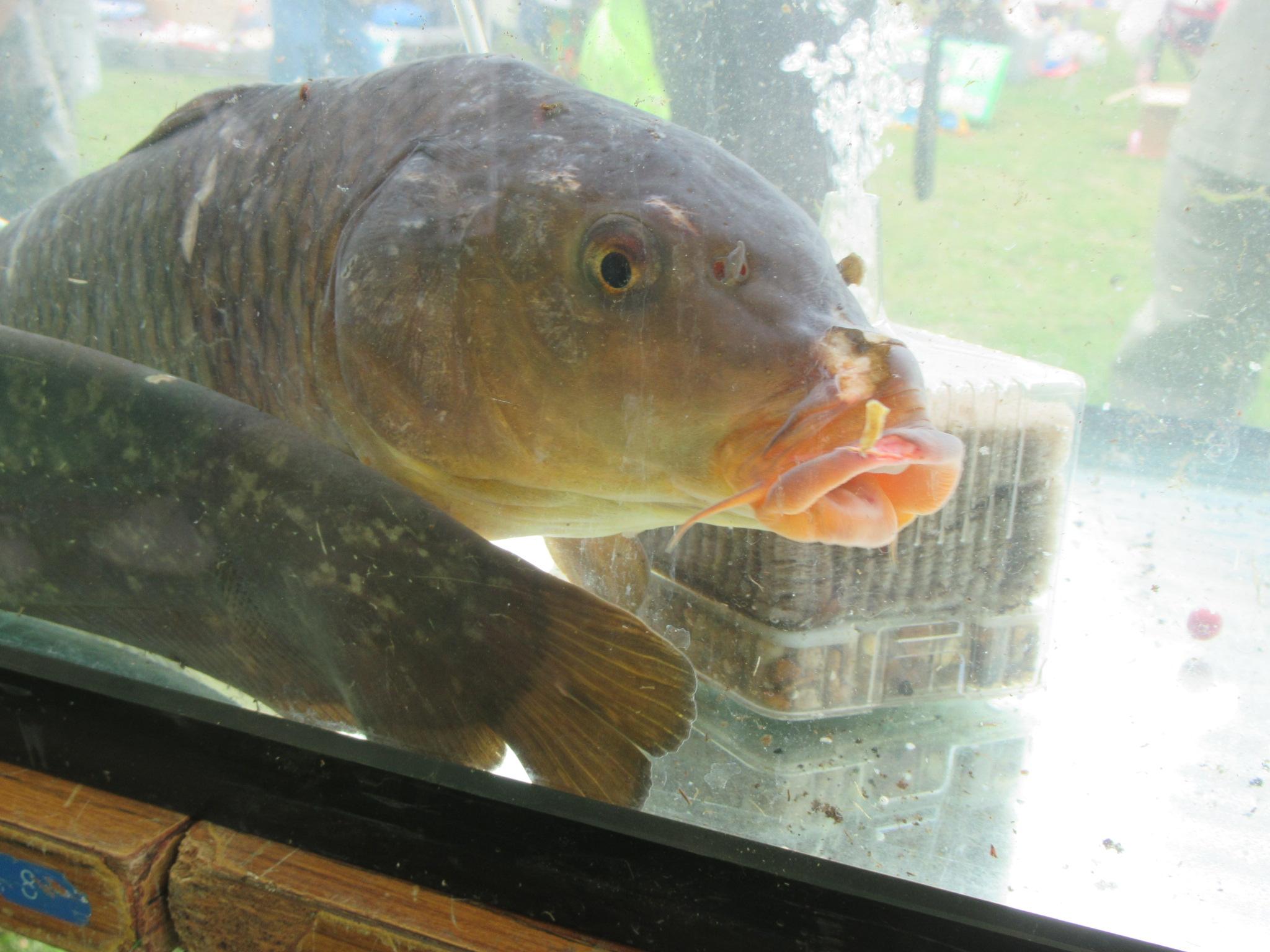 水槽の魚たち_コイとナマズ