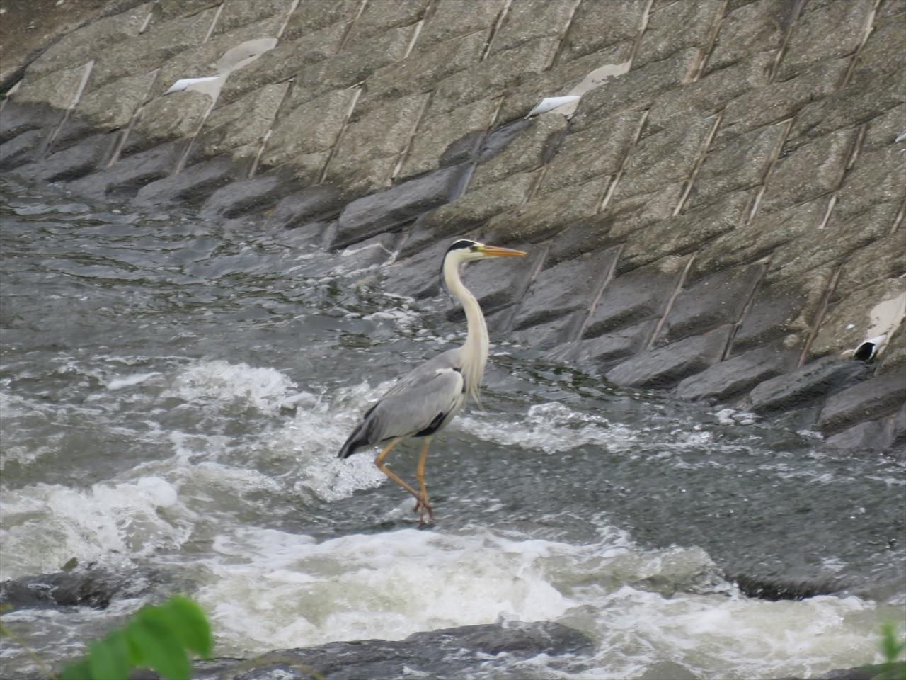 アオサギ_相模川合流点付近_目久尻川