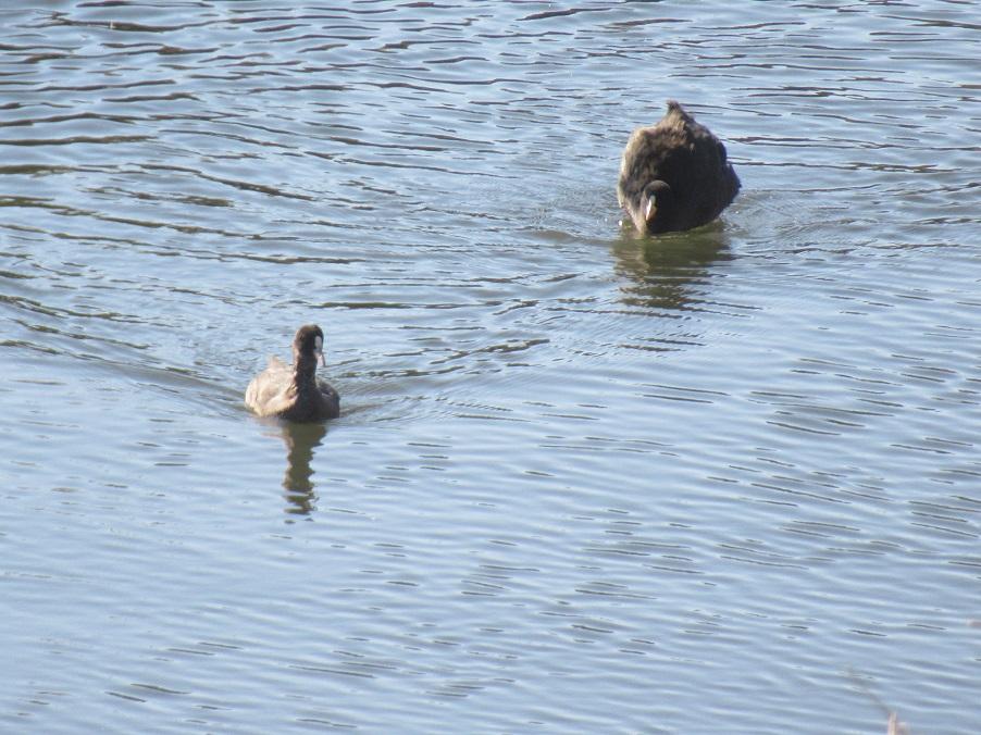 オオバンが泳いでいました