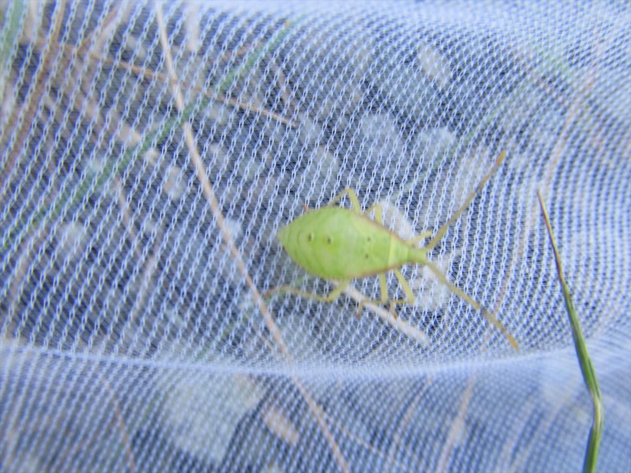ホシハラビロカメムシ幼虫