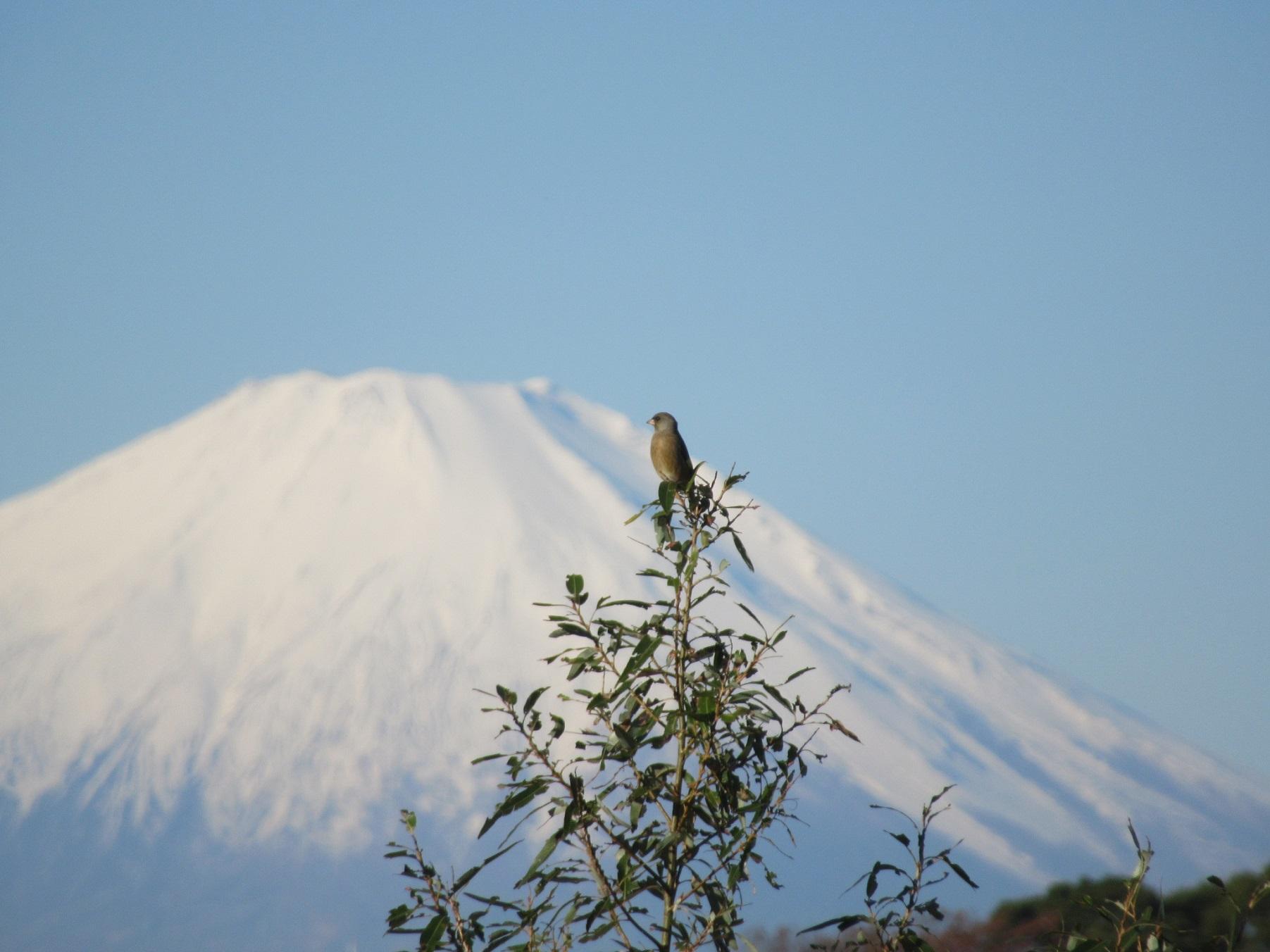 目久尻川_カワラヒワと富士山