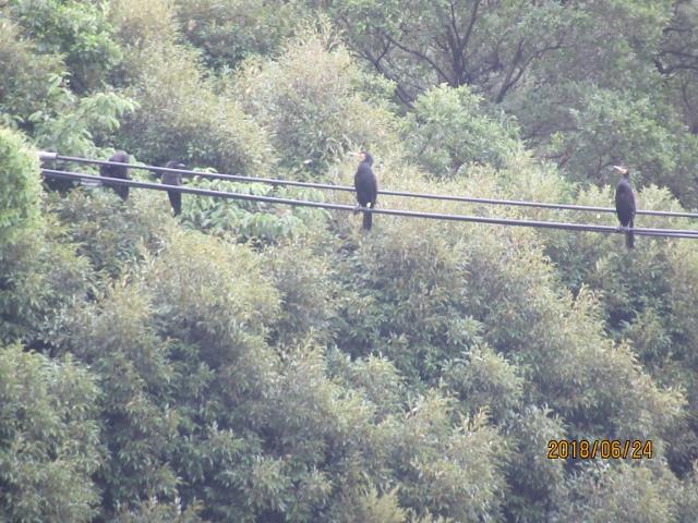 目久尻川寒川神社裏で、電線にカワウとカラスが