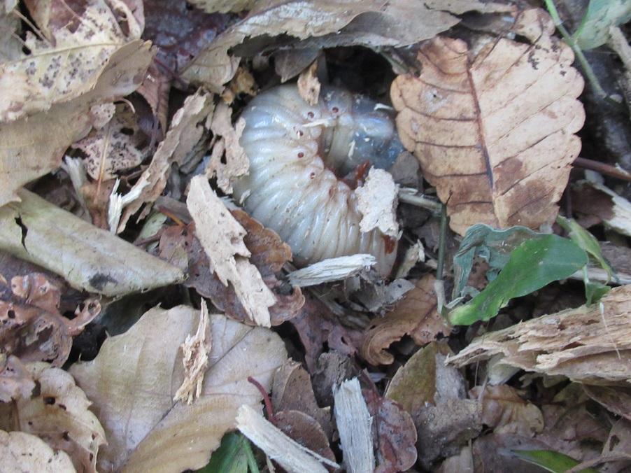 カブトムシの幼虫がいました