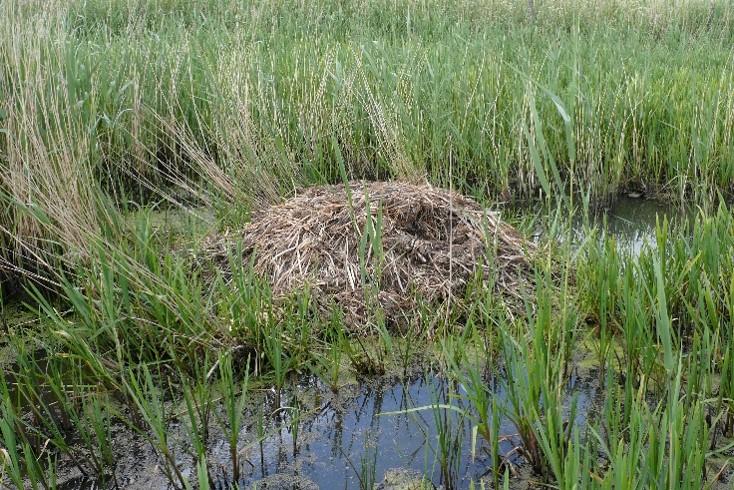 Bisamburg aus Gras und Schilf