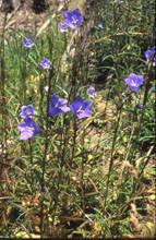 Pfirsichblättrige Glockenblume. Foto: M. Füller