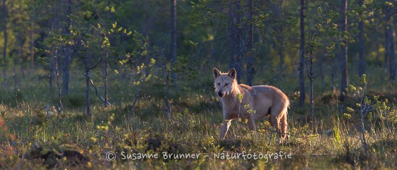 Wolf (Canis lupus), Finnland 2016